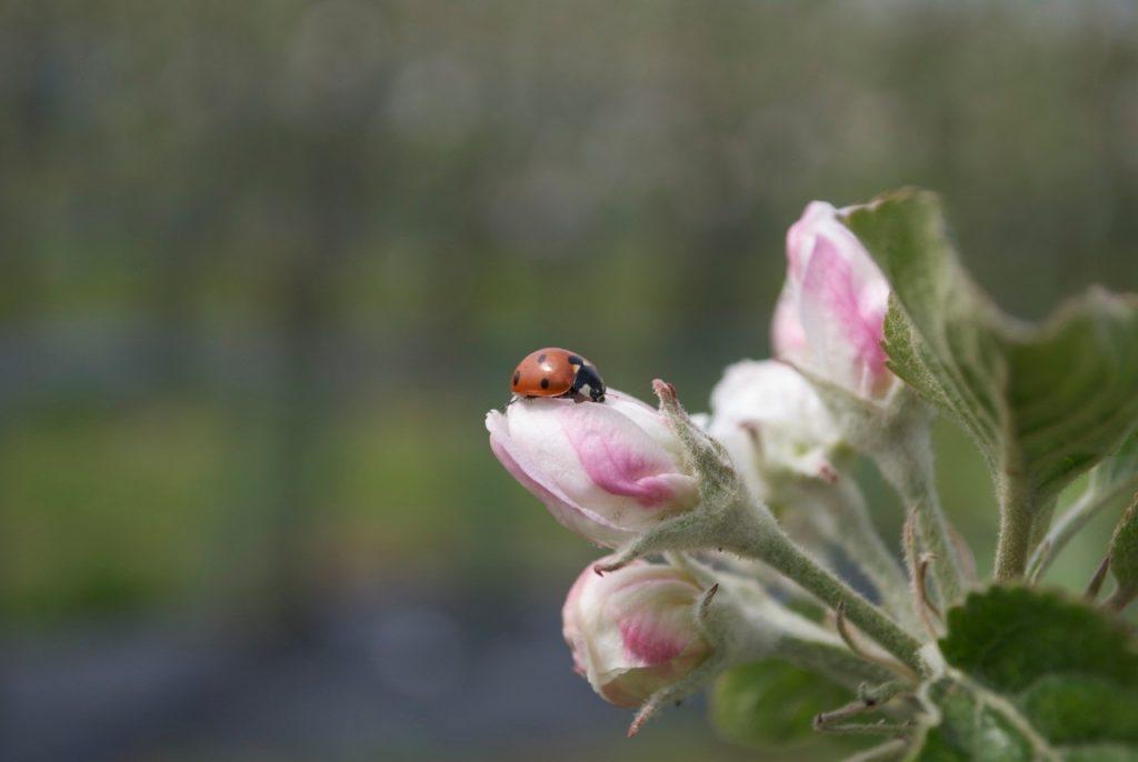 appelbloesem met lieveheersbeestje